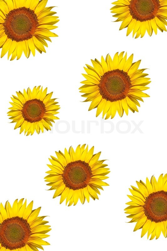 Sunflower Background Isolated On A White