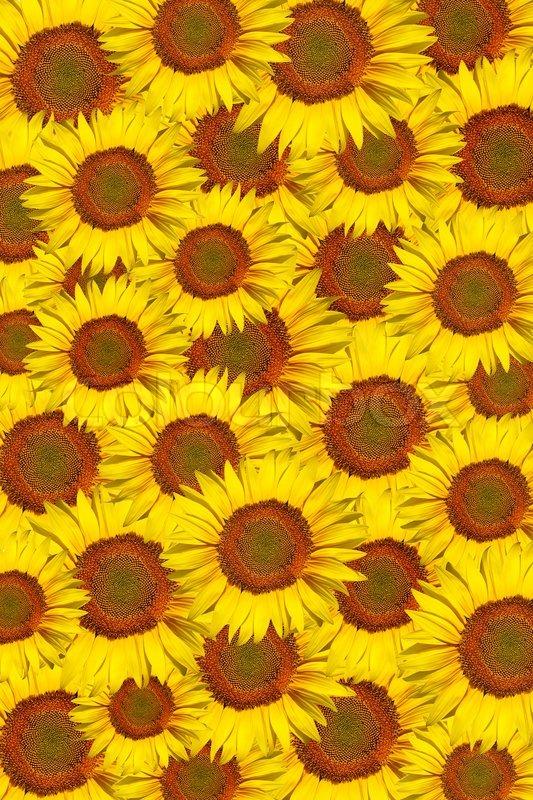 Background Made Of Single Sunflower Stock Photo Colourbox
