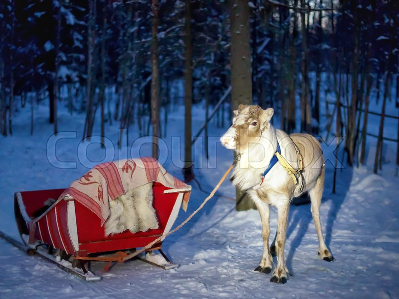 Reindeer with sleigh at night safari in the forest of Rovaniemi, Lapland, Finland. Toned, stock photo
