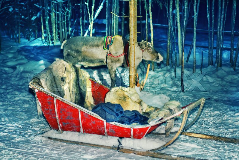 Reindeer with sledding at night safari in the forest of Rovaniemi, Lapland, Finland. Toned. Selective focus, stock photo