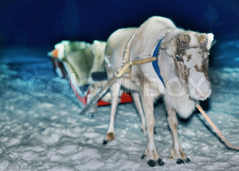 Reindeer with sled at night safari in the forest of Rovaniemi, Lapland, Finland. Toned, stock photo