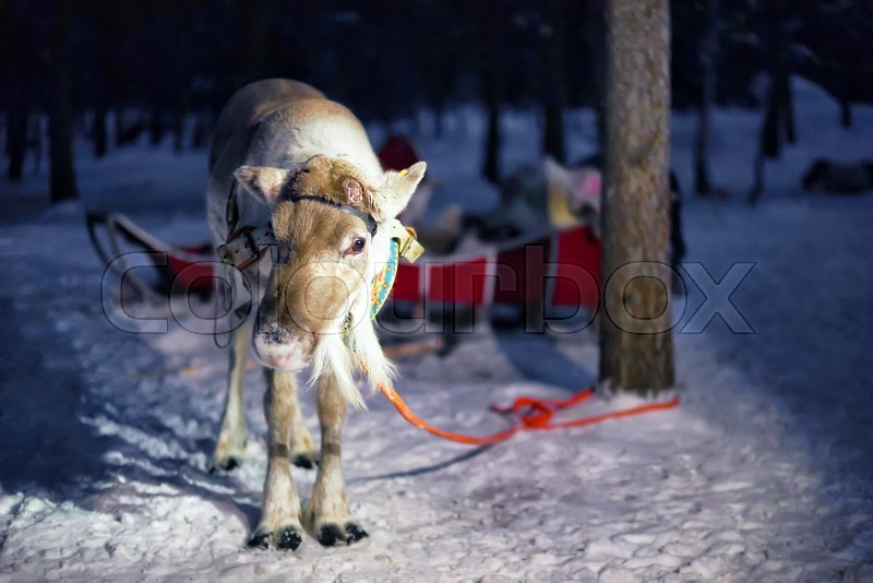 Reindeer in sleigh at night safari in the forest of Rovaniemi, Lapland, Finland. Toned, stock photo
