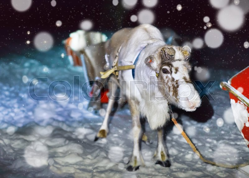 Reindeer in sleigh at night safari in the forest of Rovaniemi, Lapland, Finland. Snowfall Toned, stock photo