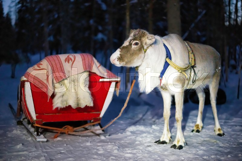 Reindeer in sledding at night safari in the forest of Rovaniemi, Lapland, Finland. Toned, stock photo