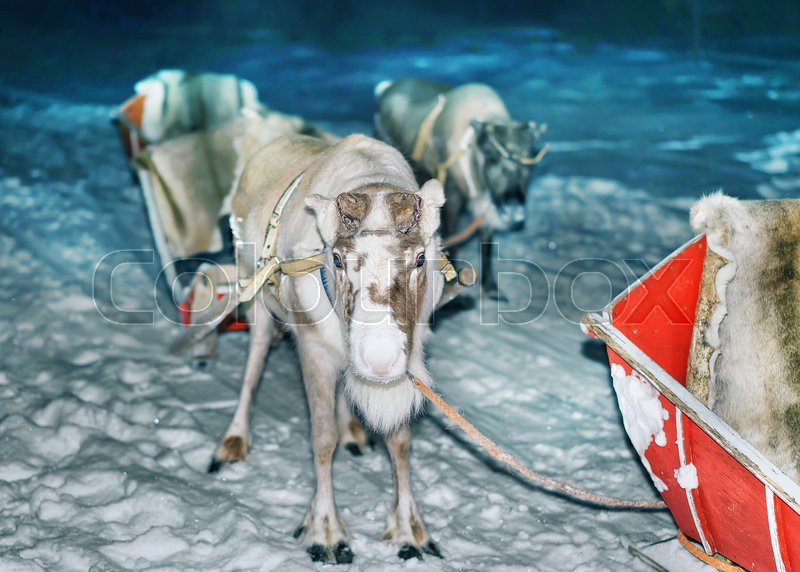 Reindeer and sleigh at night safari in the forest of Rovaniemi, Lapland, Finland. Toned, stock photo