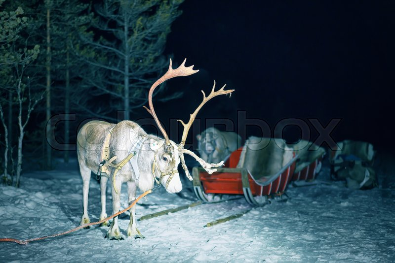 Reindeer in sled at night safari in the forest of Rovaniemi, Lapland, Finland. Toned, stock photo