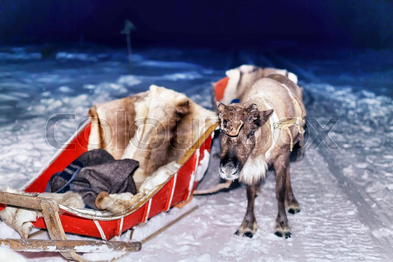 Reindeer and sledding at night safari in the forest of Rovaniemi, Lapland, Finland. Toned, stock photo