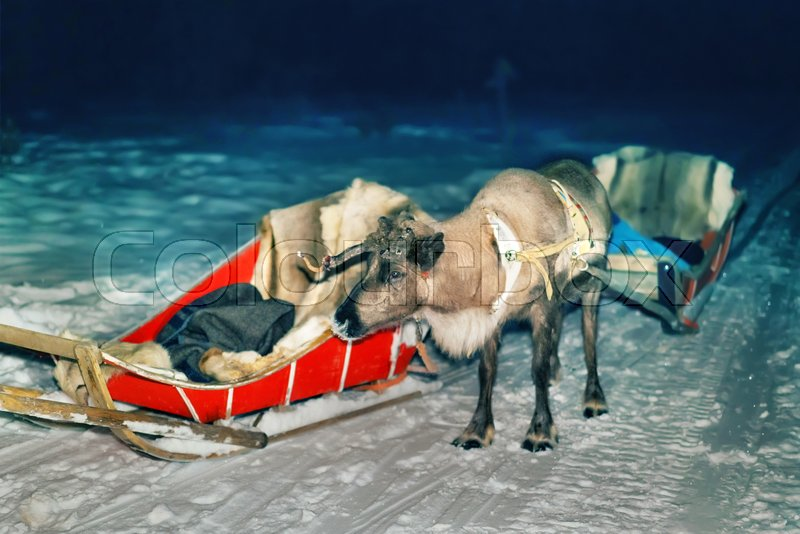 Reindeer and sled at night safari in the forest of Rovaniemi, Lapland, Finland. Toned, stock photo