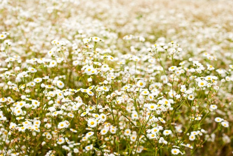 Background of white flowers in the meadow stock photo colourbox mightylinksfo