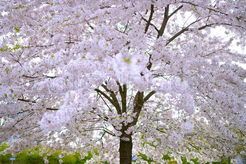 kirsebærtræ Blomstrende kirsebærtræ med lyserøde blomster i København | stock  kirsebærtræ