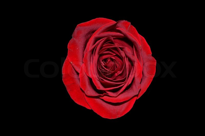 Bright Red Rose On A Black Background