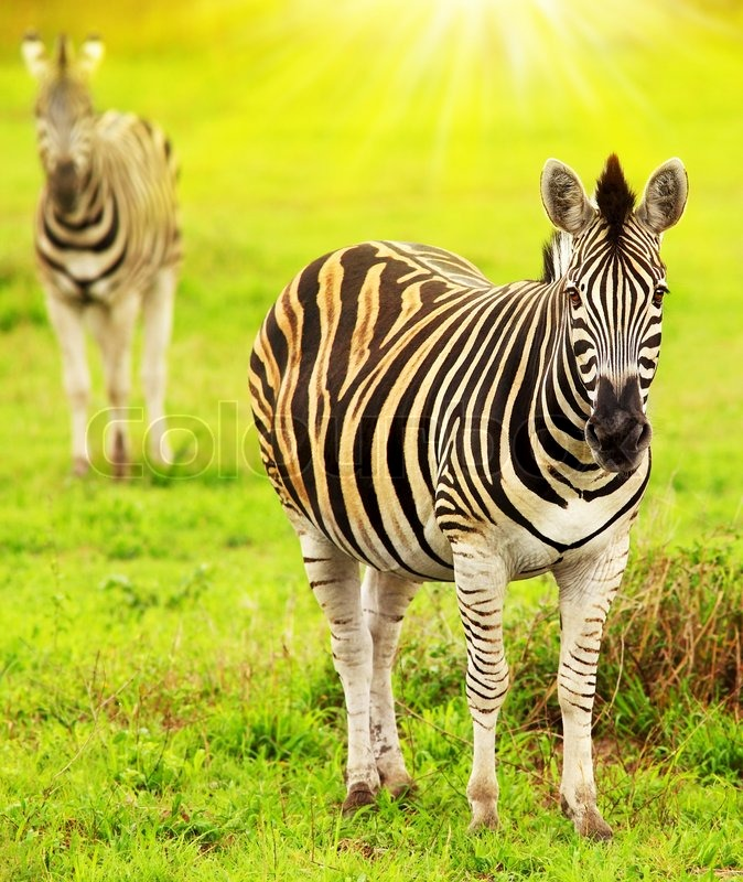 Zebras of African continent, beautiful wild animal