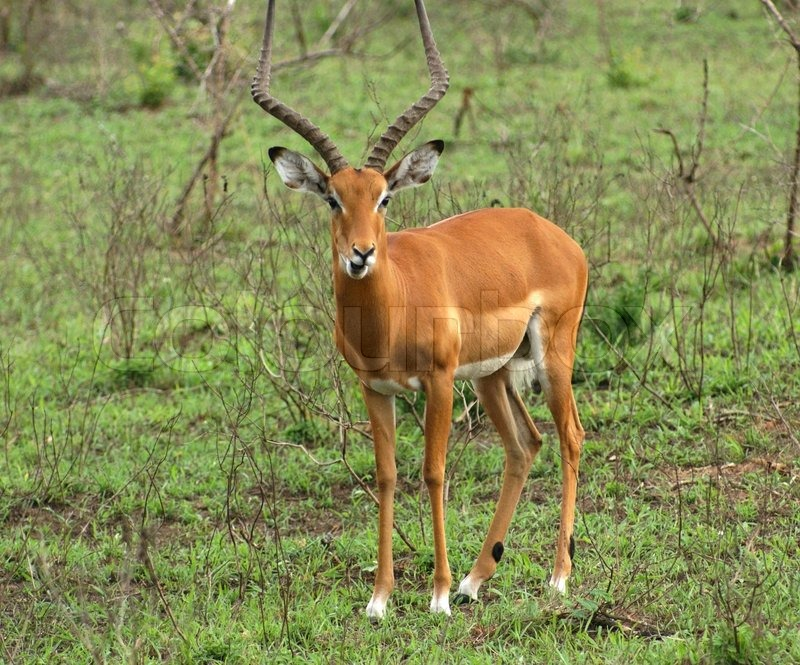 Stock image of 'a antelope seen in Uganda (Africa)'