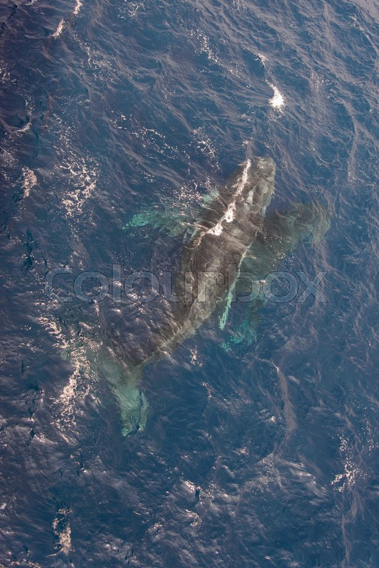 Humpback whale swimming in deep blue sea water - aerial view, stock photo