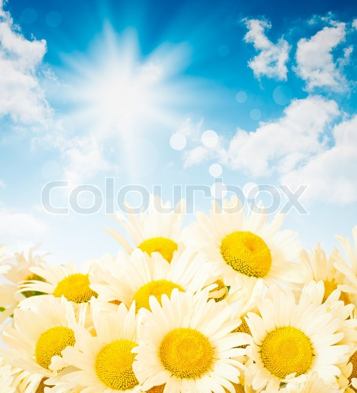 Stock image of 'Flowers of daisy against blue summer sky'