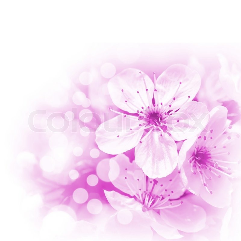 Pink flowers on white background stock photo colourbox mightylinksfo
