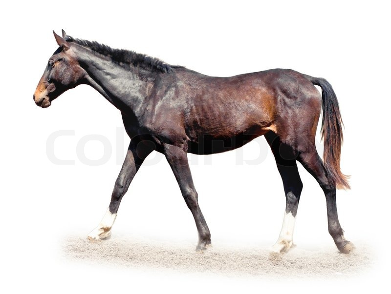 Brown horse isolated on white background | Stock Photo ...