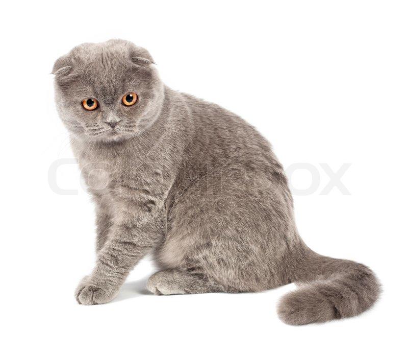 scottish fold katze grau auf wei em hintergrund stock foto colourbox. Black Bedroom Furniture Sets. Home Design Ideas