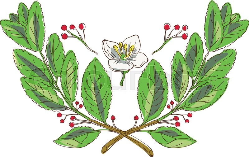 drawing sketch style illustration of leaf flower and fruit of yerba