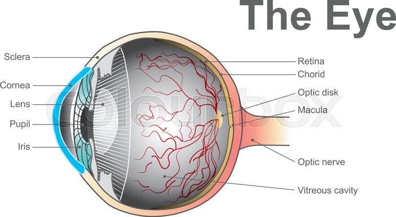 Eyes Are The Organs Of Vision They Detect Light And Convert It Into