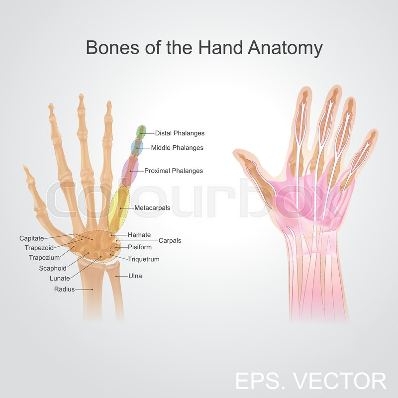 Bone of the hand anatomy. Human body part illustration hand and bone ...