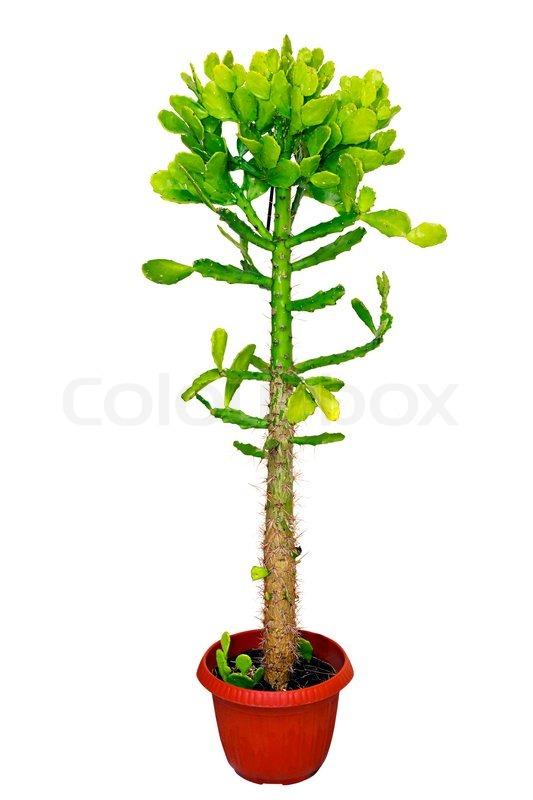 Zimmerpflanze kaktus in einem roten topf isoliert auf wei em hintergrund stockfoto colourbox - Kaktus zimmerpflanze ...