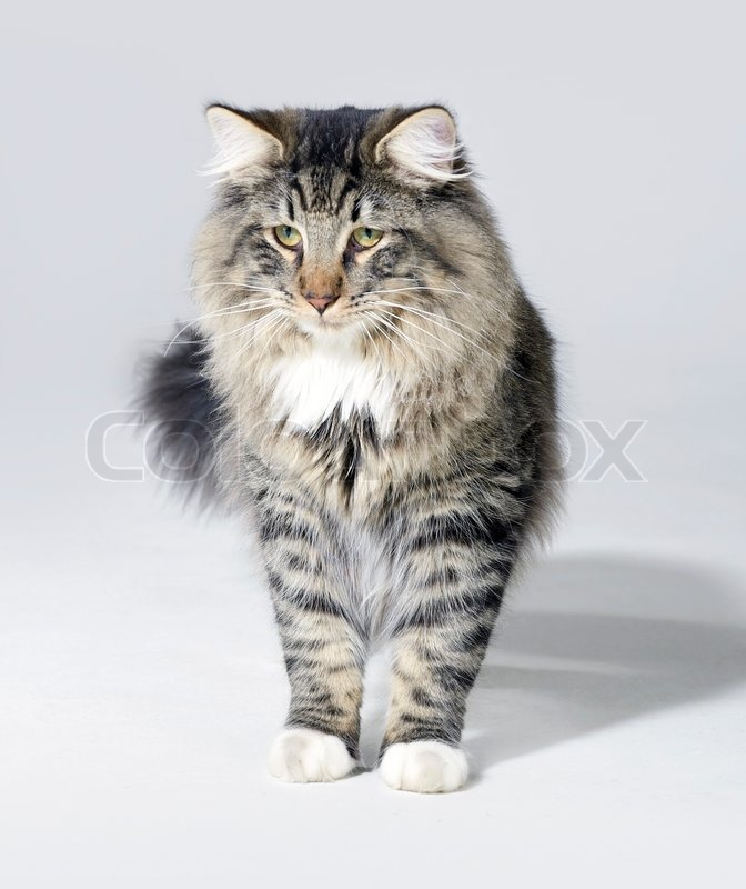 Tabby Norwegian Forest cat | Stock Photo | Colourbox Tabby Norwegian Forest Cat