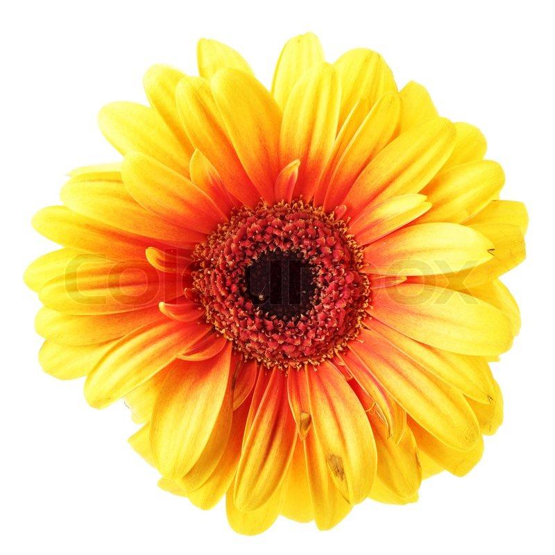 yellow daisy flower  flower, Beautiful flower