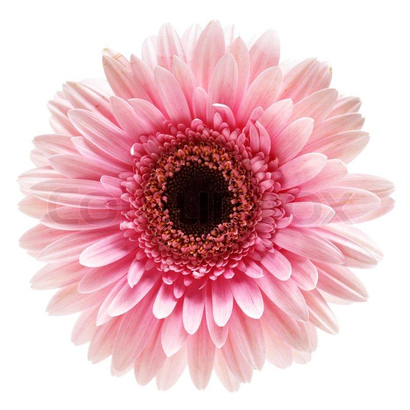 Rosa Gerber Blume Gegenüber Dem Weißen Hintergrund