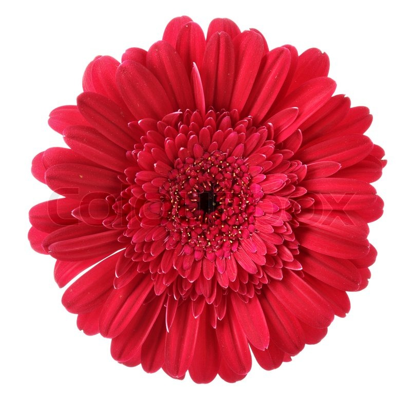 Red daisy flower isolated over white background | Stock ...