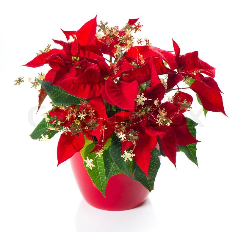 Red poinsettia. christmas flower with golden decoration | Stock ...