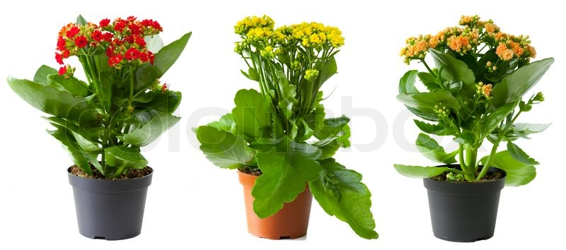 drei blumen von kalanchoe im topf isoliert auf wei stockfoto colourbox. Black Bedroom Furniture Sets. Home Design Ideas
