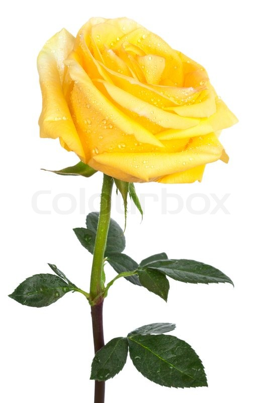 Single yellow rose on a white background | Stock Photo ...
