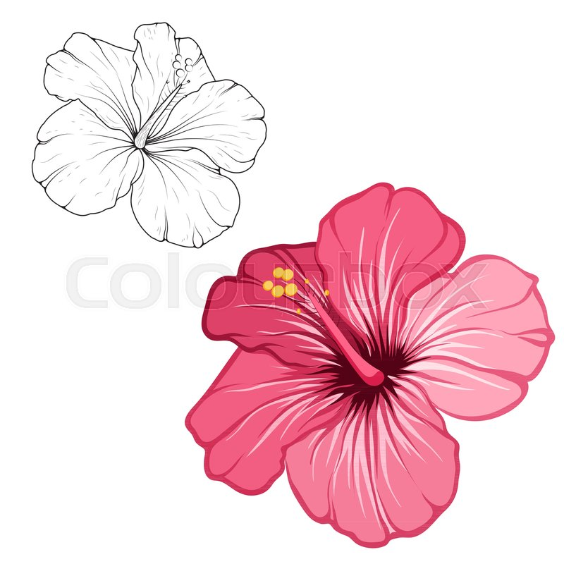Hibiscus Beautiful Blooming Flower Stock Vector Colourbox
