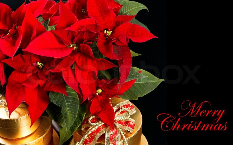 red christmas flower poinsettia with golden gifts on black background stock photo colourbox - Christmas Poinsettia