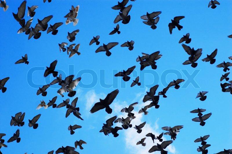 viele tauben fliegen am himmel hintergrund stockfoto. Black Bedroom Furniture Sets. Home Design Ideas