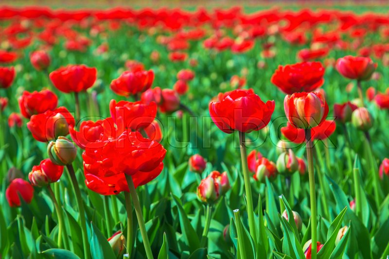 Spring Flowers Spring Tulip Field Stock Photo Colourbox