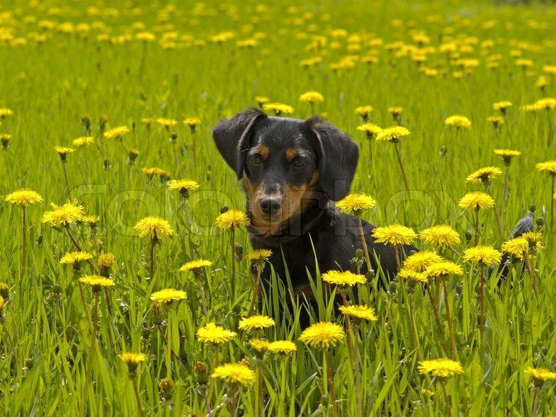 den lille hund sidder blandt gule blomster stock foto colourbox. Black Bedroom Furniture Sets. Home Design Ideas