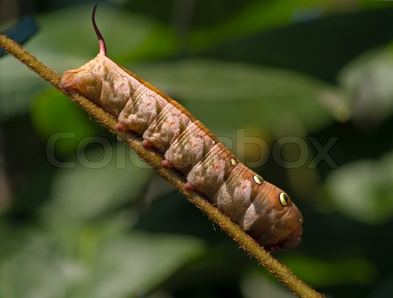 large brown caterpillar on a stalk of grass stock photo colourbox