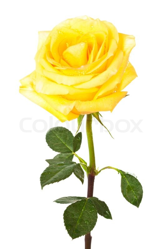 Single Flower With Stem White Background