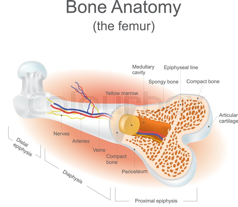 The femur is the strongest bone in the body. Info graphic vector ...