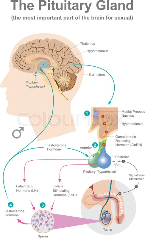 The Pituitary Gland Anatomy Human Stock Vector Colourbox