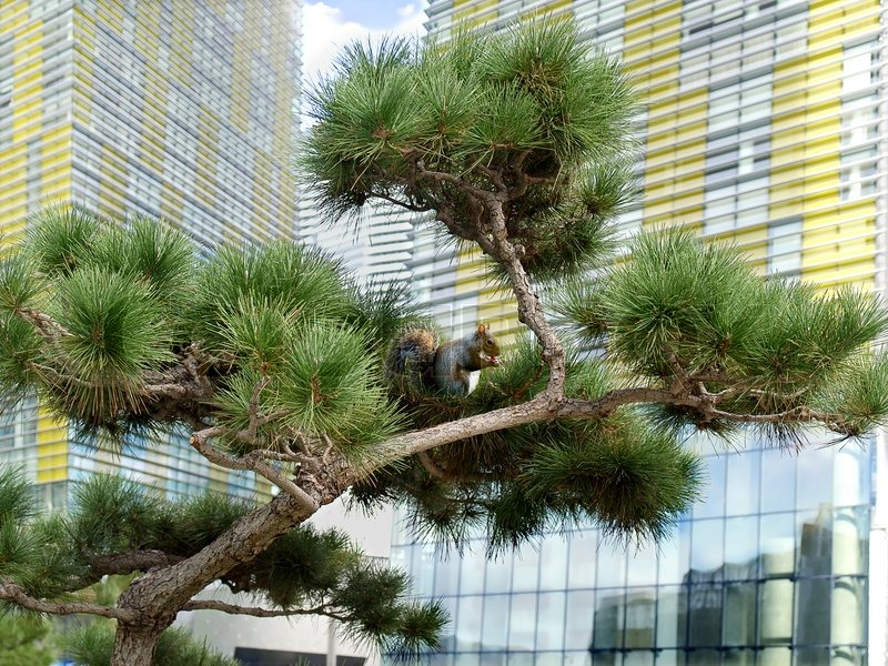 Stock image of 'Pine tree with squirrel in the city'
