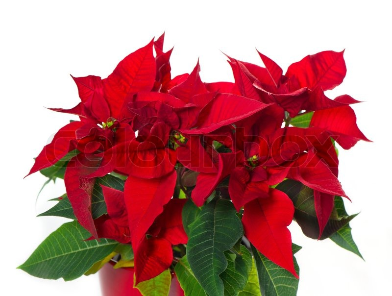 Beautiful Poinsettia Red Christmas Flower Stock Photo