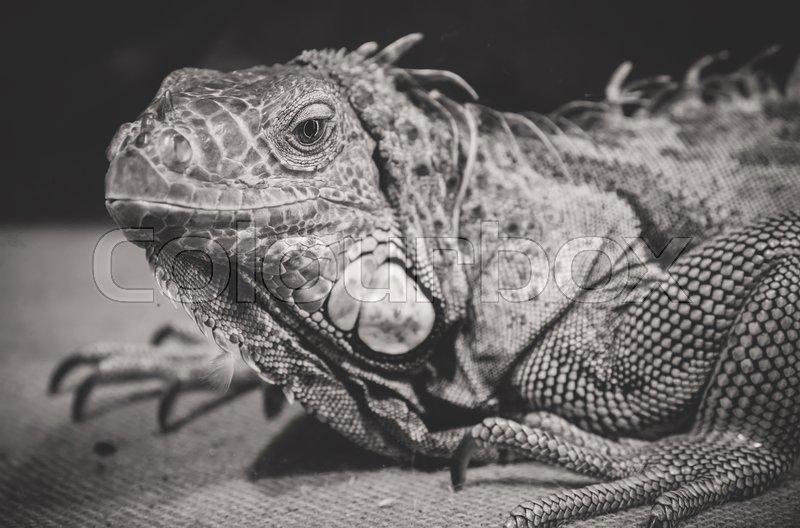 Black and white portrait of orange iguana, stock photo