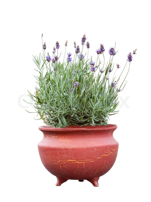 Lavender herb plant in flower growing in a terracotta pot over white background stock photo - Growing lavender pot ...
