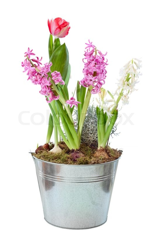 Spring hyacinth in flower pot isolated stock photo colourbox - Planting hyacinths pots ...