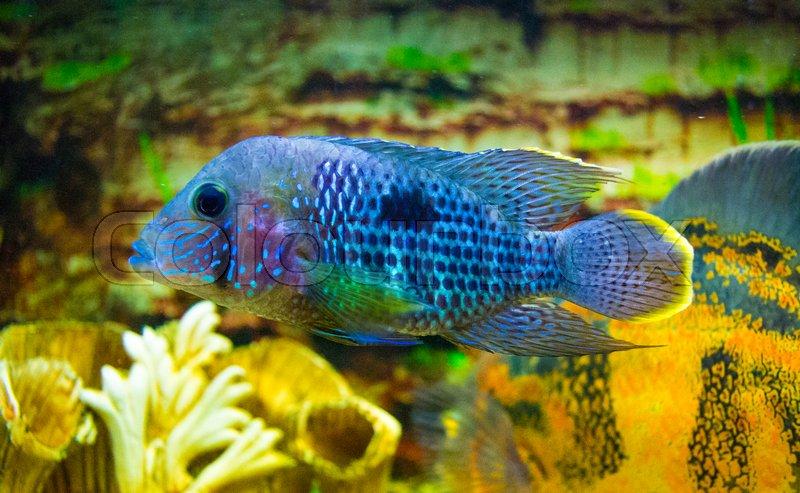 Electric Blue Acara Cichlid Fish Nannacara Neon Blue