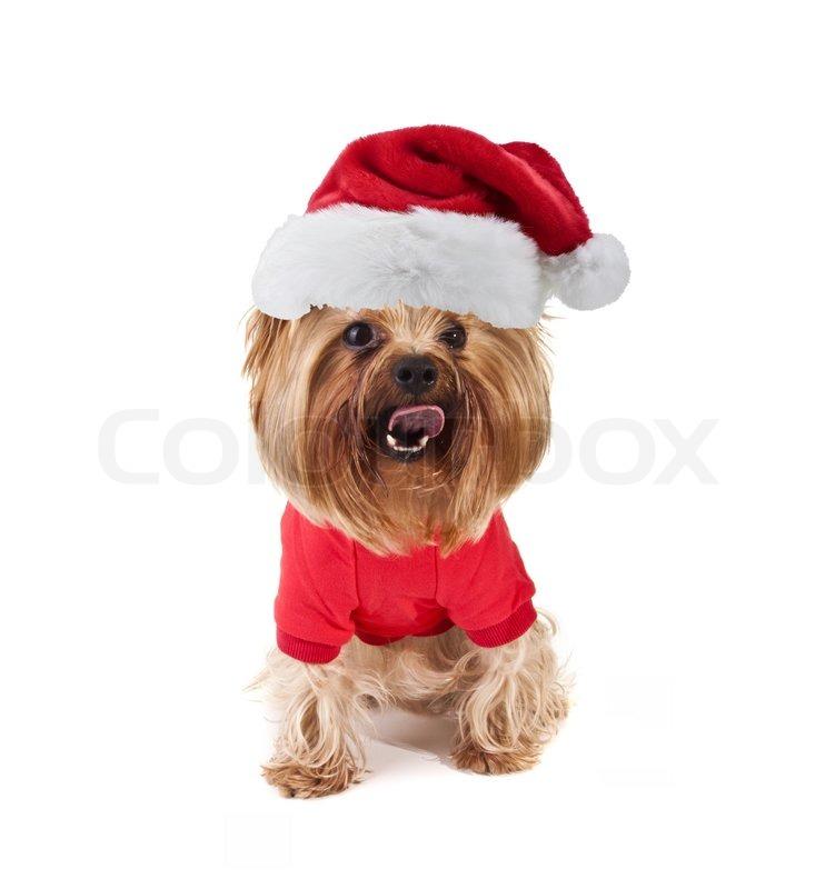 kleine s e yorkshire hund mit weihnachten weihnachtsm tze. Black Bedroom Furniture Sets. Home Design Ideas
