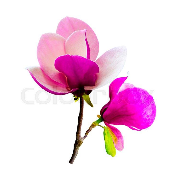 Decoration Of Few Magnolia Flowers Stock Photo Colourbox